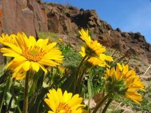 desert-flower-1480152